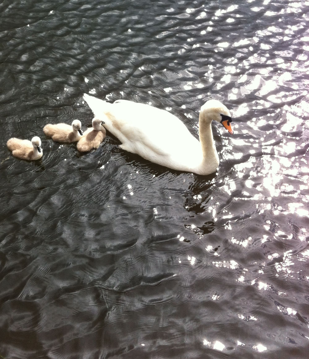 A Swan with signets